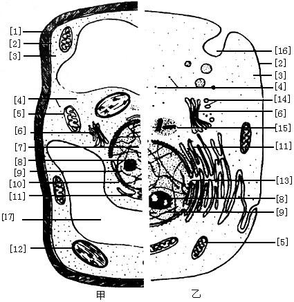 下图甲,乙分别表示高等植物细胞和高等动物细胞的亚显微结构,请据图回