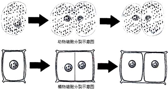 如图是动,植物细胞分裂示意图,请根据图回答问题.