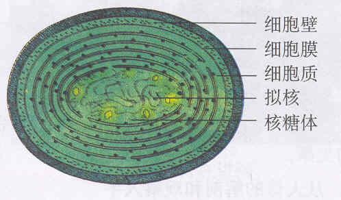 草覆虫的细胞结构图