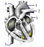 图结构中流动着动脉血的是(  )